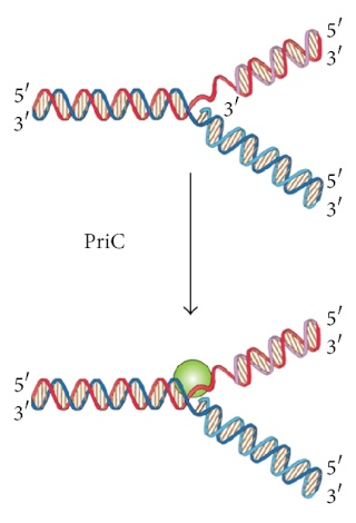 DNA replication of prokaryotes - Page 2 19516212