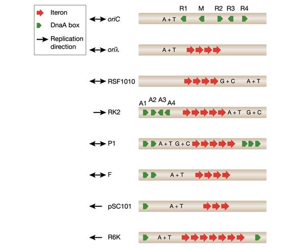 DNA replication of prokaryotes 4-embo10
