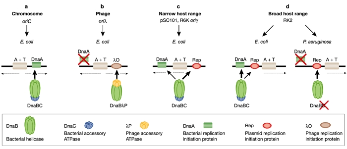 DNA replication of prokaryotes 4-embo11