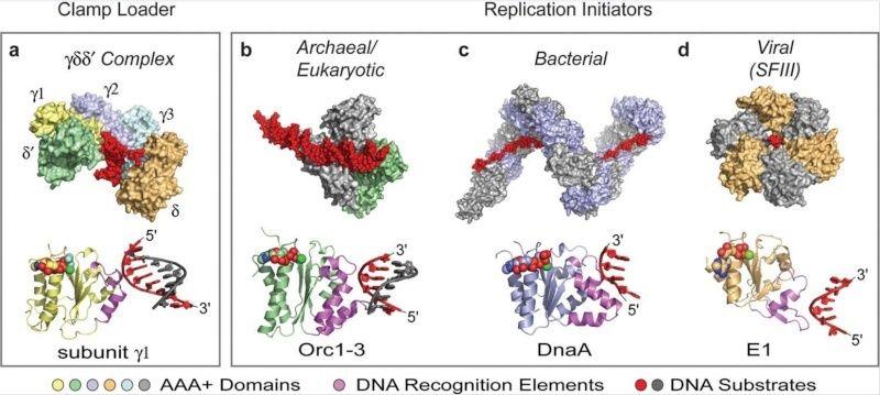DNA replication of prokaryotes Adada10