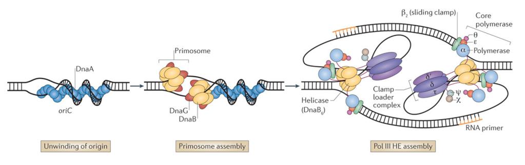 DNA replication of prokaryotes Dna_a_11