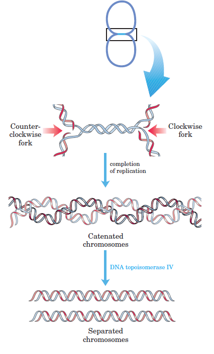 DNA replication of prokaryotes - Page 2 Dna_ca10