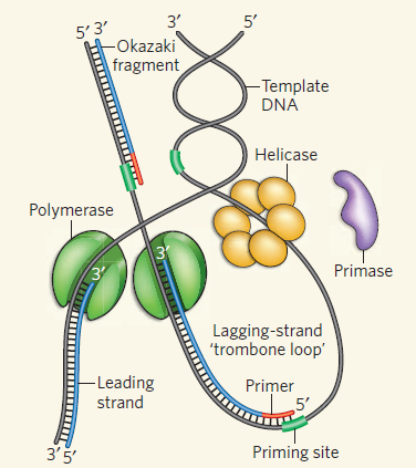 DNA replication of prokaryotes - Page 2 Dna_po13
