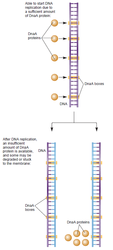 DNA replication of prokaryotes - Page 2 Dna_re14
