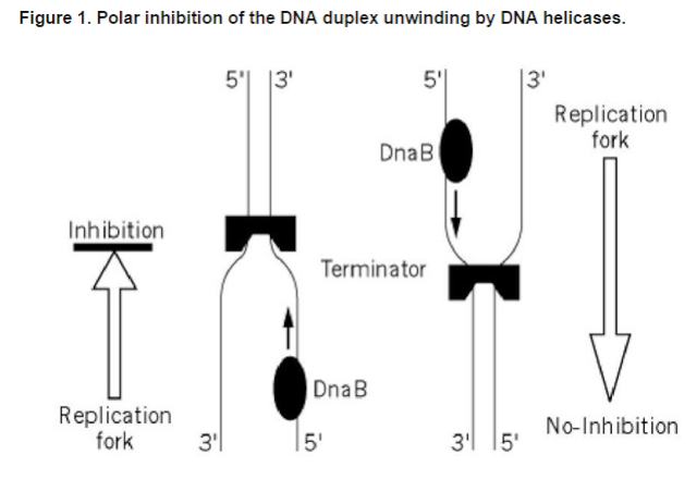 DNA replication of prokaryotes - Page 2 Dna_re19