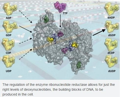 Ribonucleotide reductase, one of the most essential enzymes of life, and how it buries the RNA world Dna_su10