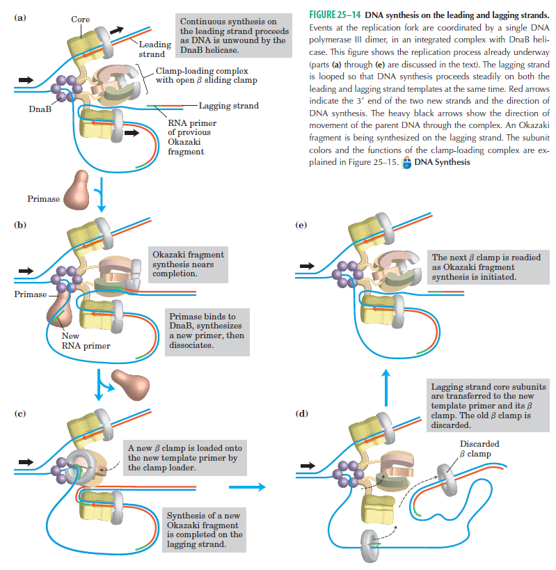 DNA replication of prokaryotes - Page 2 Dna_sy10
