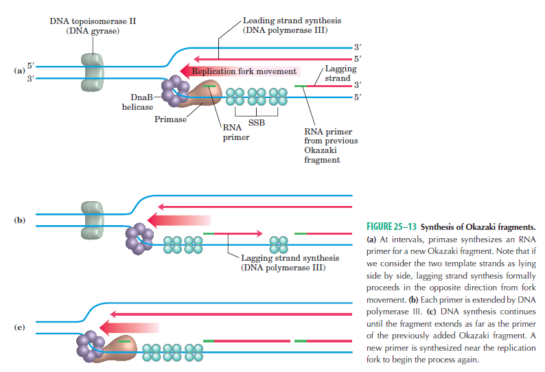 DNA replication of prokaryotes - Page 2 Dna_sy11