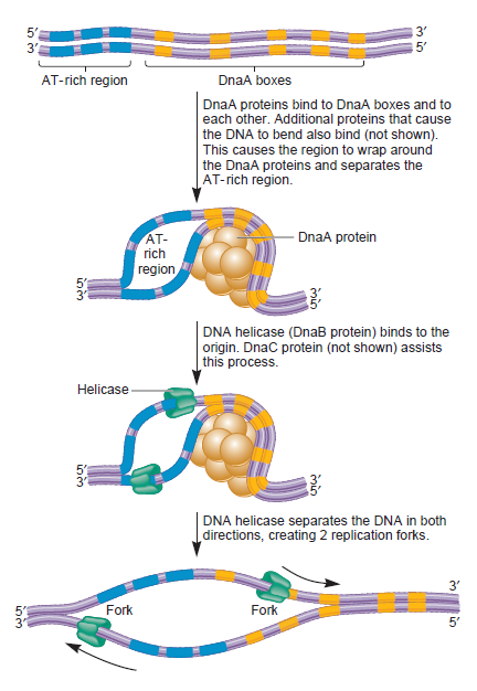 DNA replication of prokaryotes Dsffsd10