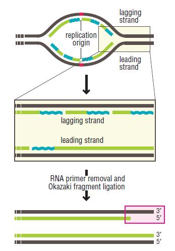 DNA replication of prokaryotes End_re10