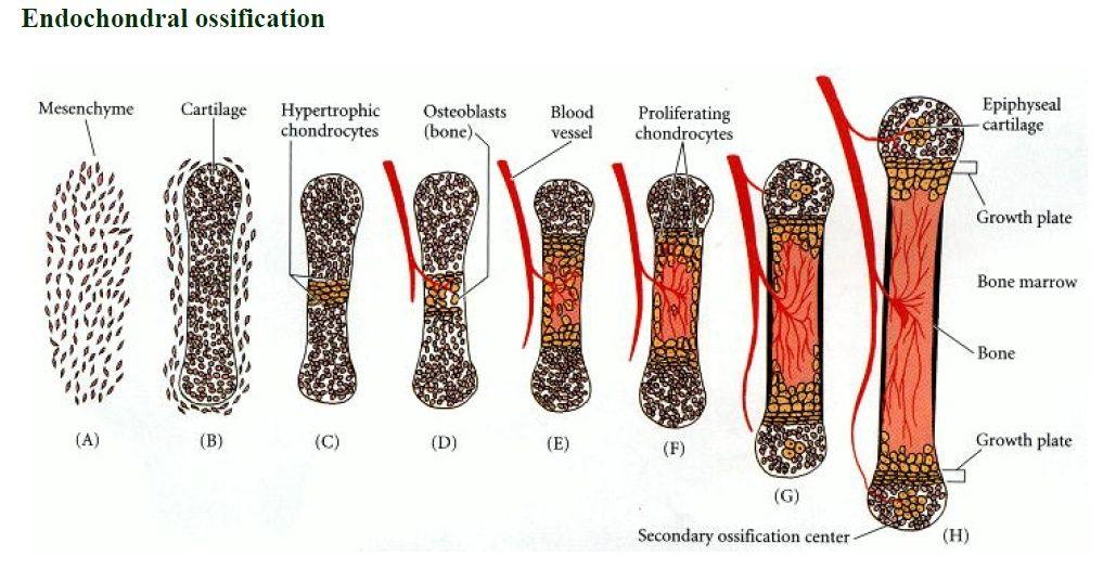 Origin and development of bones ( Osteogenesis) Endoch10