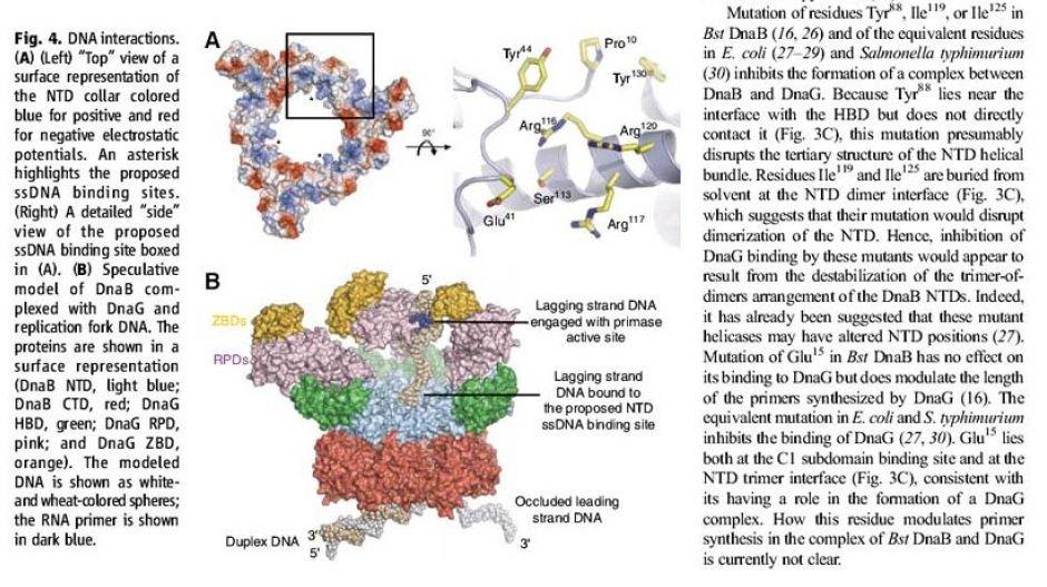 DNA replication of prokaryotes Ertert14
