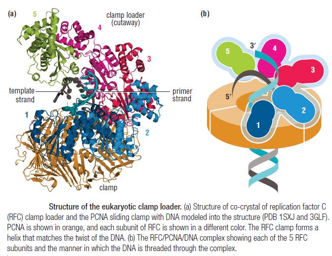 DNA replication of prokaryotes Eukary10