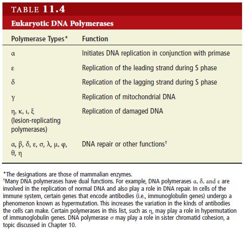 DNA replication of eukaryotes  Eukary11