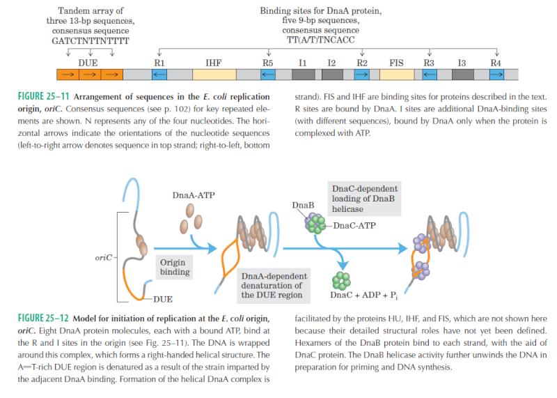DNA replication of prokaryotes Ewrwer10
