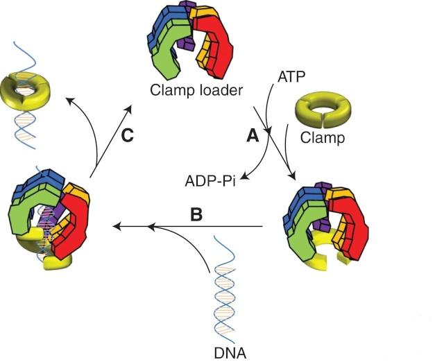 DNA replication of prokaryotes F4_lar11