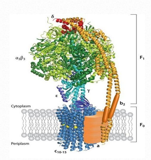 The irreducibly complex ATP Synthase nanomachine, amazing evidence of design Figura10
