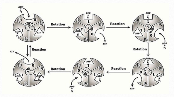 The irreducibly complex ATP Synthase nanomachine, amazing evidence of design Figura11