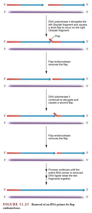 DNA replication of eukaryotes  Flap_r10