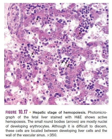 Hematopoiesis. The mystery of blood Cell and vascular Formation Hemopo11