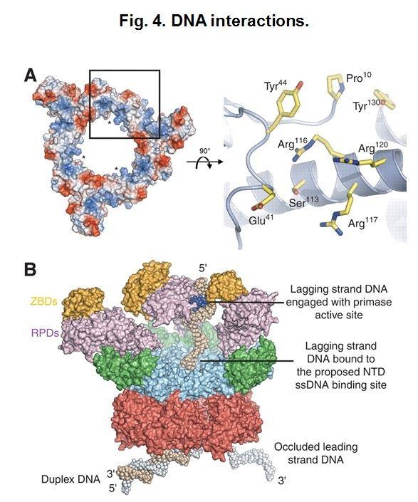 DNA replication of prokaryotes Hexame13