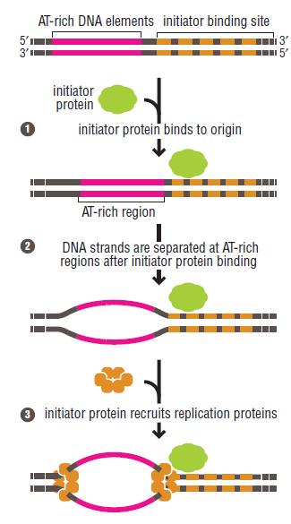 DNA replication of prokaryotes Initia10