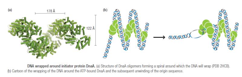 DNA replication of prokaryotes Initia11