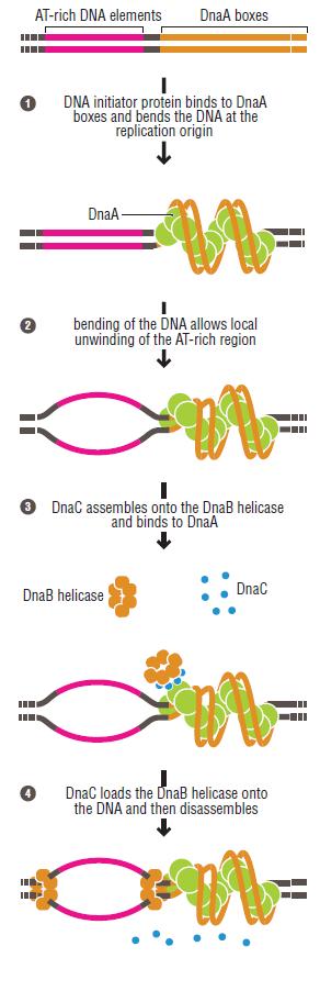 DNA replication of prokaryotes Initia12