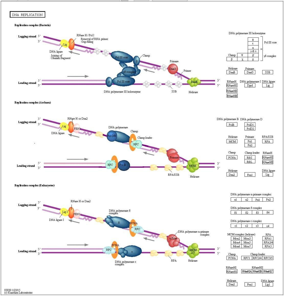 DNA replication of prokaryotes Kegg_p10
