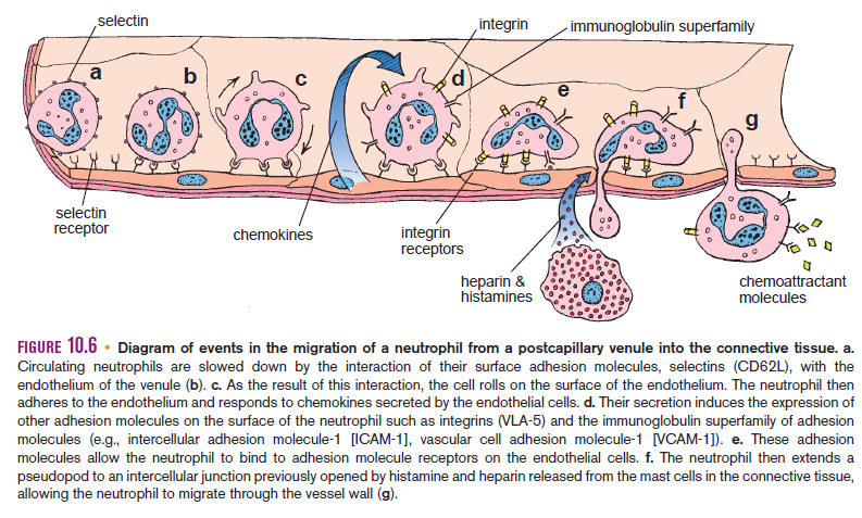 Hematopoiesis. The mystery of blood Cell and vascular Formation Migrat10