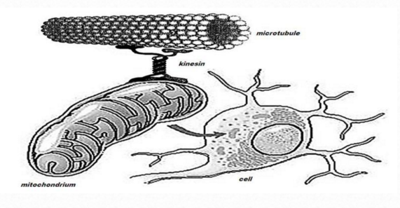 The Mitochondrion Mitoch11