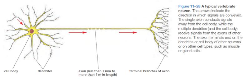 Neurons, remarkable evidence of design Neuron10