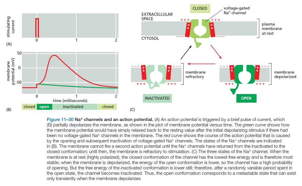 Neurons, remarkable evidence of design Neuron11