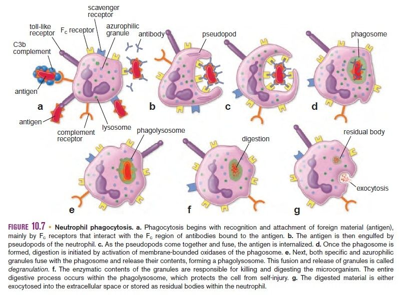 Hematopoiesis. The mystery of blood Cell and vascular Formation Neutro10