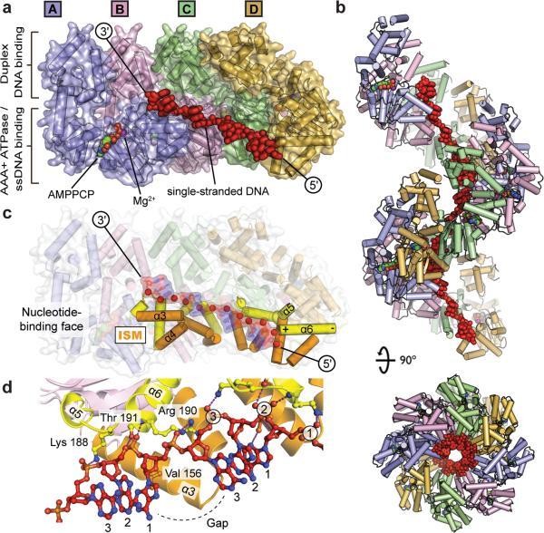 DNA replication of prokaryotes Nihms-10
