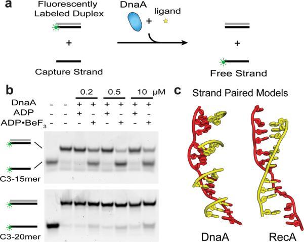 DNA replication of prokaryotes Nihms-12