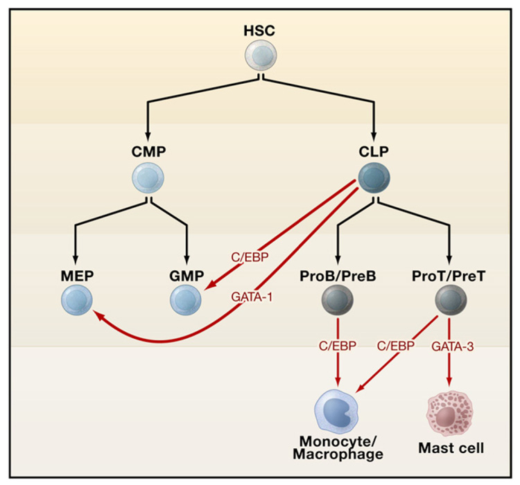 Hematopoiesis. The mystery of blood Cell and vascular Formation Nihms715