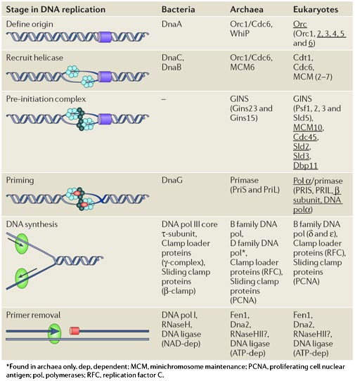 DNA replication of prokaryotes Nrm24210