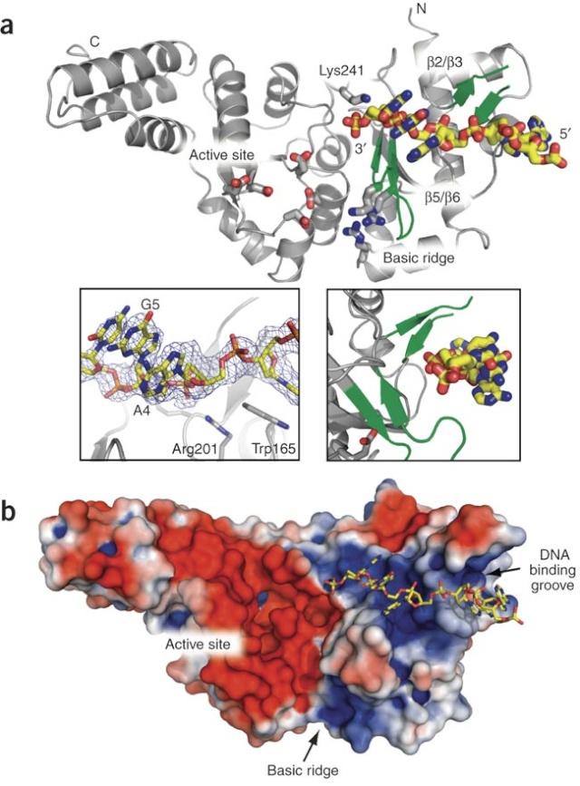 DNA replication of prokaryotes Nsmb_110