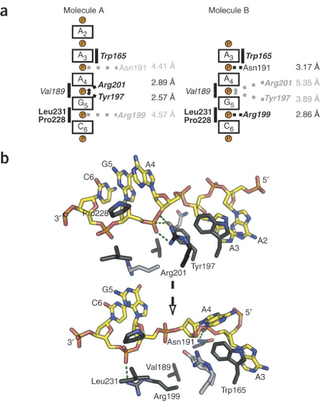 DNA replication of prokaryotes Nsmb_111