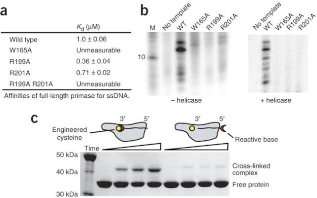DNA replication of prokaryotes Nsmb_113