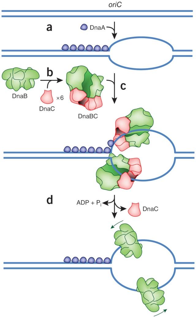 DNA replication of prokaryotes Nsmb_213