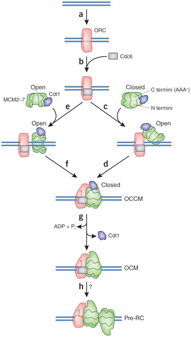 DNA replication of prokaryotes Nsmb_215