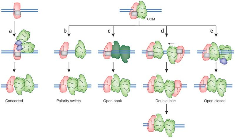 DNA replication of prokaryotes Nsmb_217