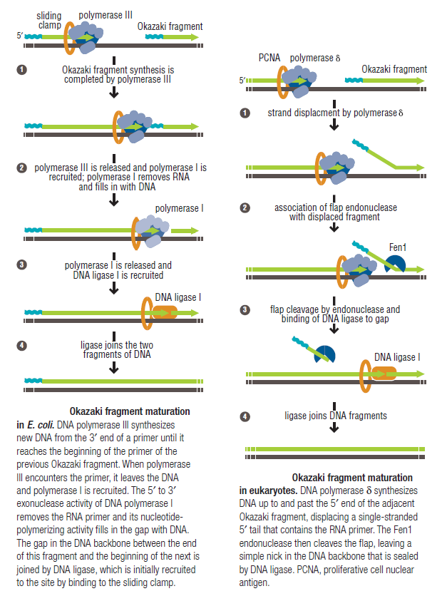 DNA replication of prokaryotes Okazak10