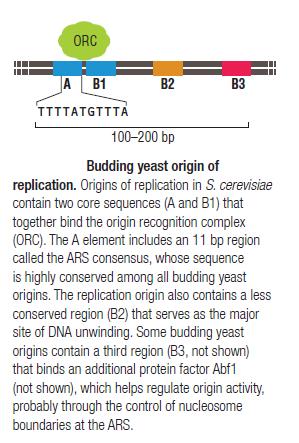 DNA replication of prokaryotes Origin11