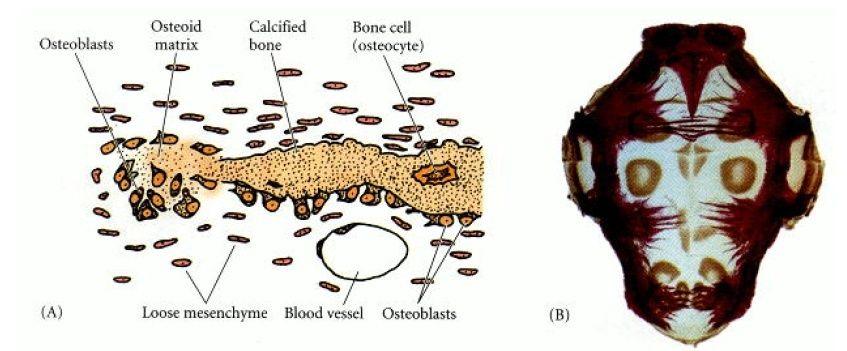 Origin and development of bones ( Osteogenesis) Osteob10