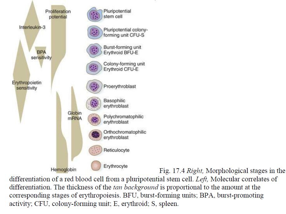 Hematopoiesis. The mystery of blood Cell and vascular Formation Plurip10