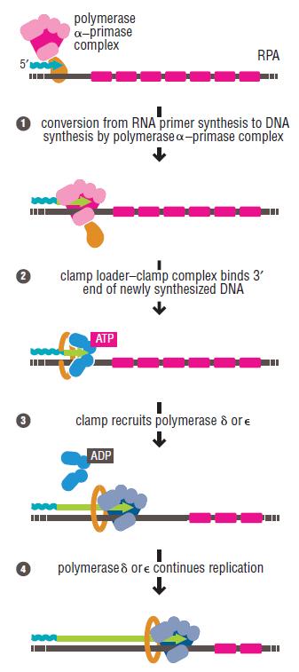 DNA replication of prokaryotes Polyme10