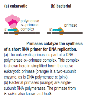DNA replication of prokaryotes Primas10